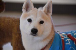 療癒犬 piu piu